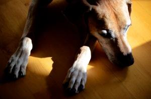 Dog Ruby