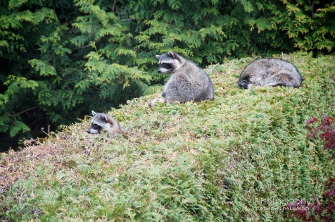 Raccoon Family on Hedge