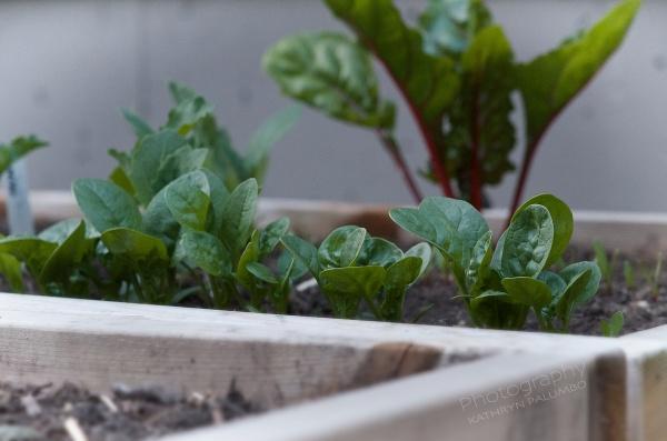 Spinach garden